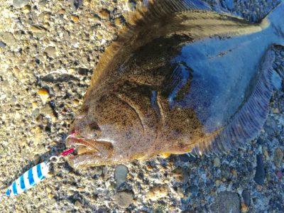 メジャークラフト・ジグパラスローで釣れたヒラメ