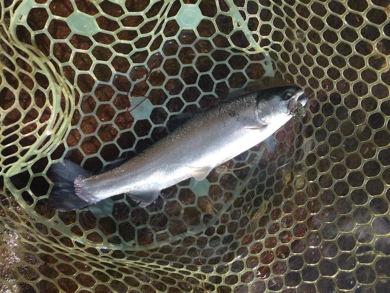 ミディアムクラピーでヒットした魚